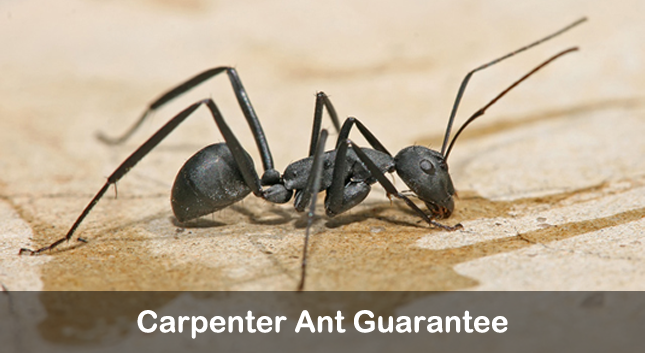 carpenter ant gaurantee